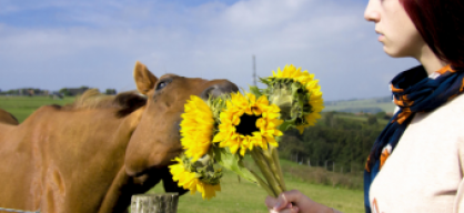 Sunflowers for Horses